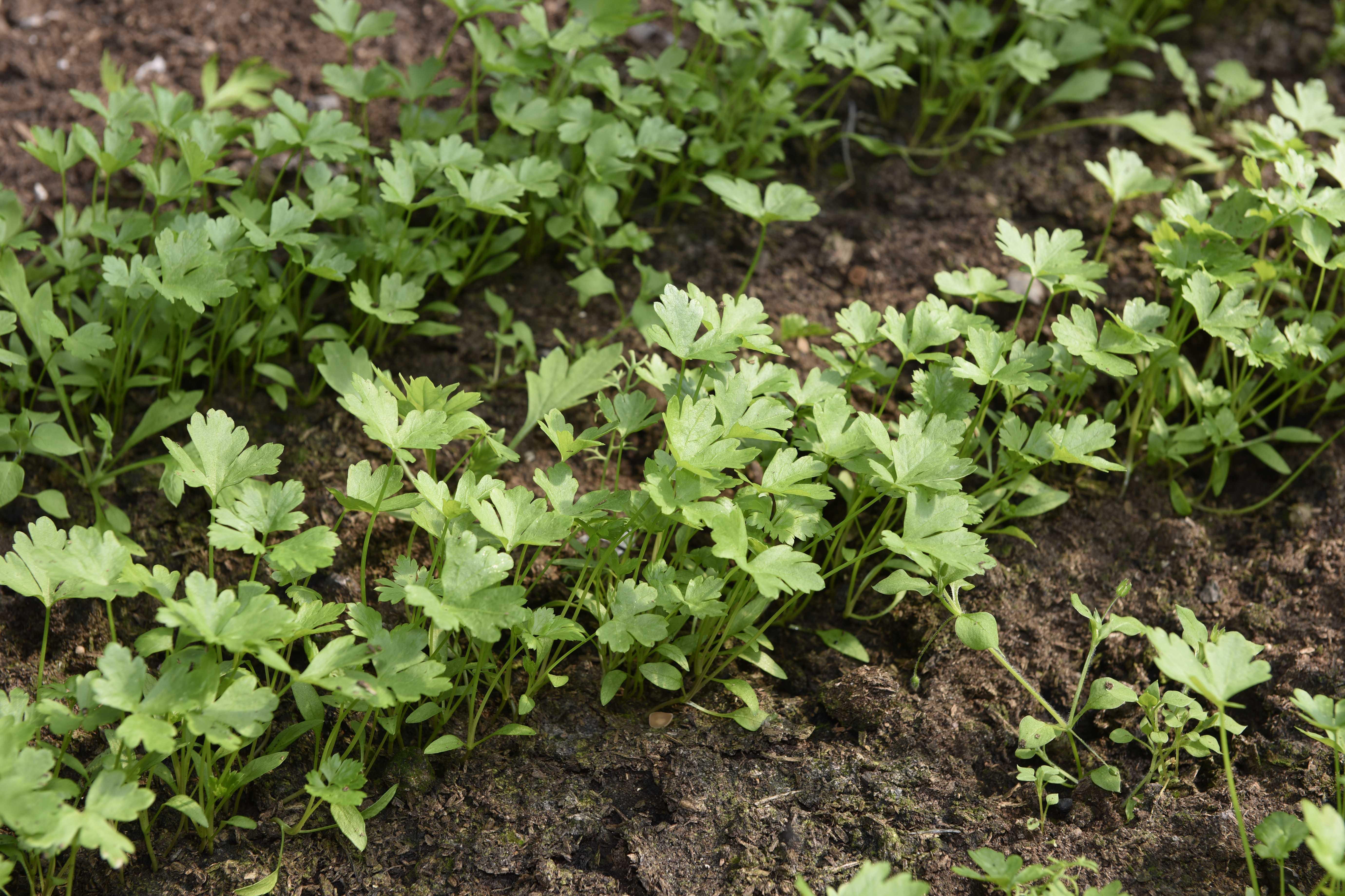 Посадка петрушки в открытый грунт семенами, выращивание и уход видео 56